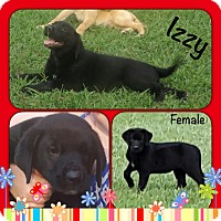 Adopt A Pet :: Izzy adoption pending - Manchester, CT