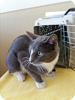 Domestic Shorthair Cat for adoption in Modesto, California - Smokey