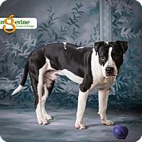 Adopt A Pet :: Sage - Mayer, MN