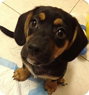 Yorkie, Yorkshire Terrier/Beagle Mix Puppy for adoption in San Ysidro, California - Woody