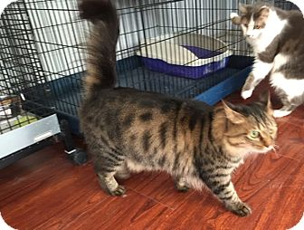 Maine Coon Cat for adoption in Lambertville, New Jersey - Pasha