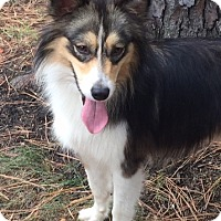 Sheltie, Shetland Sheepdog Mix Dog for adoption in Memphis, Tennessee - Laddie