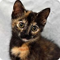 Domestic Shorthair Kitten for adoption in Greenfield, Indiana - Ivy