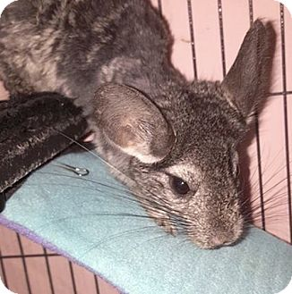 Chinchilla for adoption in Patchogue, New York - Gabby