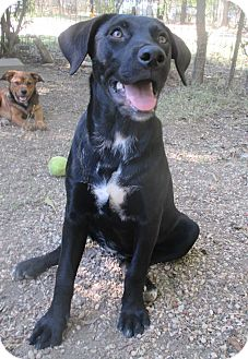 Labrador Retriever/Catahoula Leopard Dog Mix Puppy for adoption in Godley, Texas - Madison