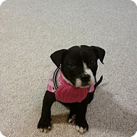 Adopt A Pet :: Puddin Pop Fostered (Jennifer) - Troy, IL