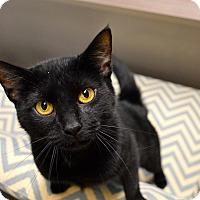 Adopt A Pet :: Sheba - St. Charles, MO