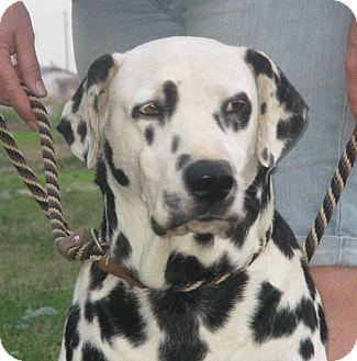Dalmatian Dog for adoption in Turlock, California - Manchitas