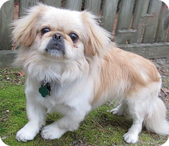 Pekingese Mix Dog for adoption in Forked River, New Jersey - Krimpet