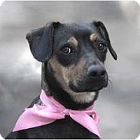 Adopt A Pet :: SNICKERS... - san diego, CA