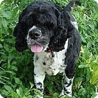 Adopt A Pet :: Buddy - Sugarland, TX