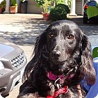 Adopt A Pet :: PRESTLEY - Portland, OR