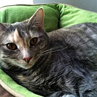 Domestic Shorthair Cat for adoption in Prescott, Arizona - Leslie