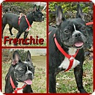 Adopt A Pet :: Frenchie
