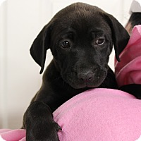 Adopt A Pet :: Priss - Brattleboro, VT