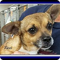 Chihuahua/Pug Mix Dog for adoption in Tombstone, Arizona - Ricci