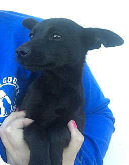 Feist/Labrador Retriever Mix Puppy for adoption in Sparta, New Jersey - Cassidy