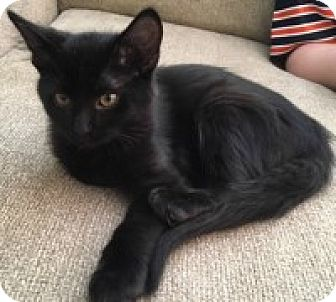 Domestic Mediumhair Kitten for adoption in McHenry, Illinois - Uno