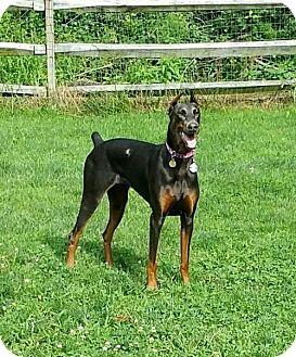Doberman Pinscher Dog for adoption in Bristolville, Ohio - Rayne