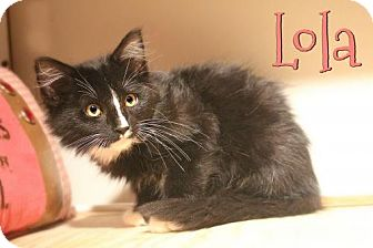 Domestic Longhair Kitten for adoption in Benton, Louisiana - Lola