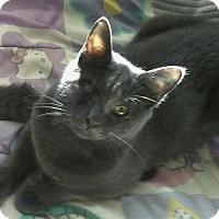 Adopt A Pet :: Sweet Blue - Scottsdale, AZ