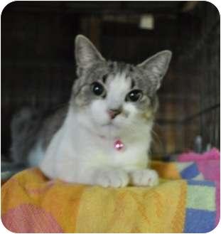 Domestic Shorthair Cat for adoption in Pasadena, California - Tatiana