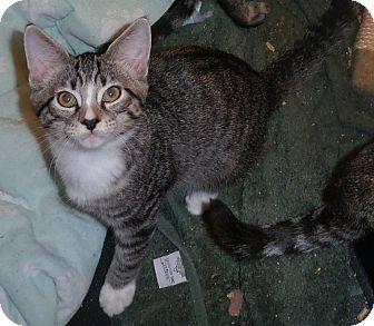 Domestic Shorthair Cat for adoption in Stafford, Virginia - Winnie
