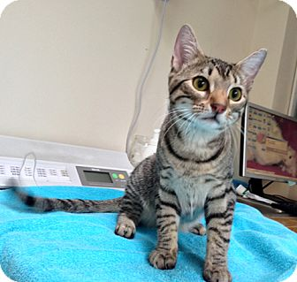 Domestic Shorthair Cat for adoption in Brooklyn, New York - Corona
