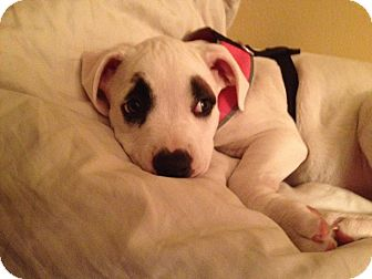Boxer/Bulldog Mix Puppy for adoption in La Crosse, Wisconsin - Cora