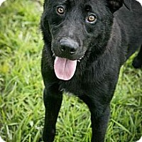 Retriever (Unknown Type)/Shepherd (Unknown Type) Mix Dog for adoption in Jackson, Mississippi - Chomper