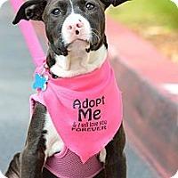 Adopt A Pet :: Dolly - Redondo Beach, CA