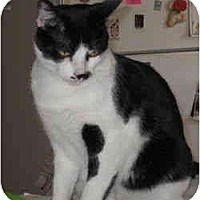 Domestic Shorthair Cat for adoption in Austin, Texas - Andre