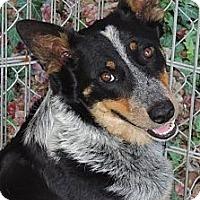 Adopt A Pet :: Callie - La Habra Heights, CA