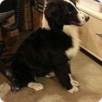 Adopt A Pet :: Abby (DC) - Brattleboro, VT