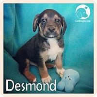 Adopt A Pet :: Desmond - Novi, MI