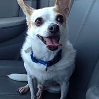 Chihuahua Mix Dog for adoption in McKinney, Texas - Ricky