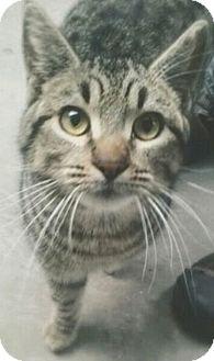 Domestic Mediumhair Cat for adoption in Woodland, California - Ashton