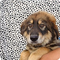Adopt A Pet :: Warrior - Oviedo, FL