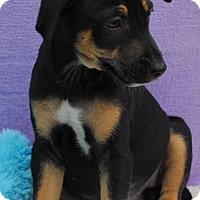 Adopt A Pet :: Cruz - East Sparta, OH
