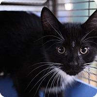 Adopt A Pet :: Pyrite - Sarasota, FL