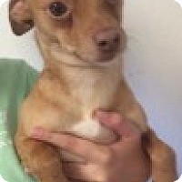 Chihuahua Mix Dog for adoption in Yelm, Washington - Stewie