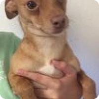 Adopt A Pet :: Stewie - Yelm, WA