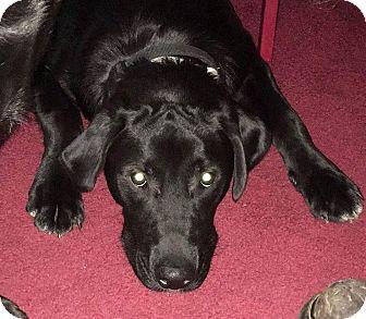 Labrador Retriever/Golden Retriever Mix Puppy for adoption in Flintstone, Maryland - Max
