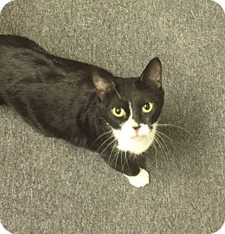 Domestic Shorthair Cat for adoption in Glendale, Arizona - Tuxx