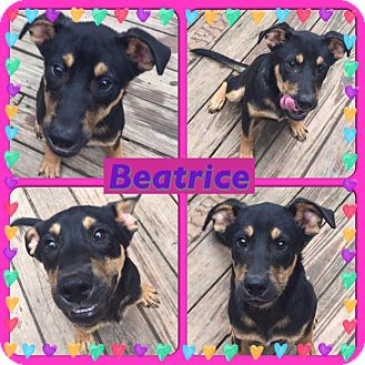 Rottweiler/Shepherd (Unknown Type) Mix Puppy for adoption in ST LOUIS, Missouri - Beatrice