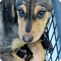 Hound (Unknown Type) Mix Puppy for adoption in Mount Pleasant, South Carolina - Arya