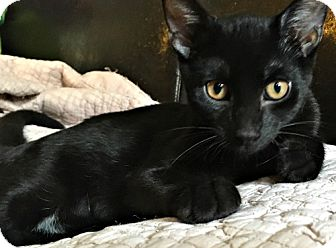 Domestic Shorthair Kitten for adoption in Brooklyn, New York - Bean, the Stunning Laid Back Snugger!