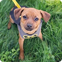 Chihuahua Mix Puppy for adoption in Oakley, California - Thor