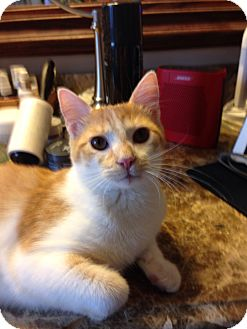 Domestic Shorthair Kitten for adoption in Keller, Texas - Milo