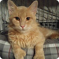 Hemingway/Polydactyl Cat for adoption in Lenhartsville, Pennsylvania - Ranger